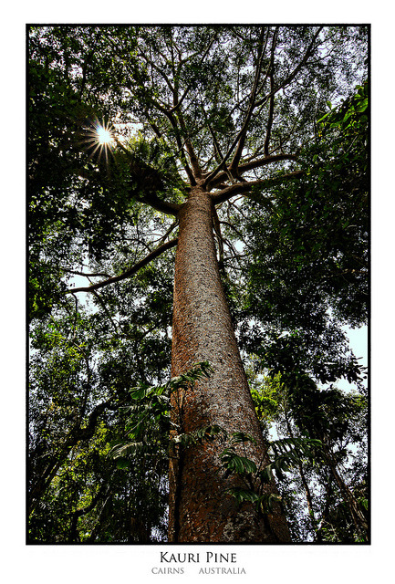 Kauri Pine on Flickr.