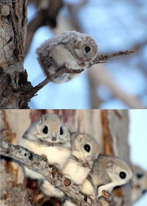 mylifewithsocialanxiety:  americandementia:  Japanese Dwarf Flying Squirrels HOW HAVE I NOT KNOWN ABOUT THESE BEFORE  SO CUTE