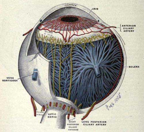 "biomedicalephemera:  Vessels and nerves of the choroid and iris This cutaway diagram clearly shows the position and relation of the sclera to the inner workings of the eyeball. Comprising the posterior five-sixths of the connective tissue surrounding the eyeball, the sclera is contiguous with the cornea (the anterior one-sixth of the connective tissue) and the dura mater surrounding the optic nerve. Yes, that's the same ""dura mater"" connective tissue that's found surrounding the brain - in mammals, the eyes are simply outgrowths of the brain itself, not independently developed sensory organs (as they are in, say, cephalopods). Also known as ""the whites of the eye"", the sclera is comprised primarily of collagen and elastic tissue, and is a fairly durable and tough outer casing for the inner structures of the eyeball. Directly interior to the sclera is the choroid, which provides much of the structural definition and vasculature of the eyeball, but is very delicate on its own. Humans are fairly unique among mammals in that the whites of our eyes are always showing. The small size of our irises and the contrast against the sclera allows us to clearly communicate nonverbal (and often subconscious) cues to one another using only our eyes. Anatomy: Descriptive and Applied. Henry Gray, 1910."