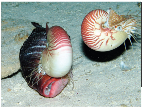 Nautilus pompilius, a shelled cephalopods, eating a dead fish. at a depth of 703 m Photo: Dunstan AJ, Ward PD & Marshall NJ