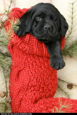 Adorable black Lab puppy in a Christmas stocking! Original Article