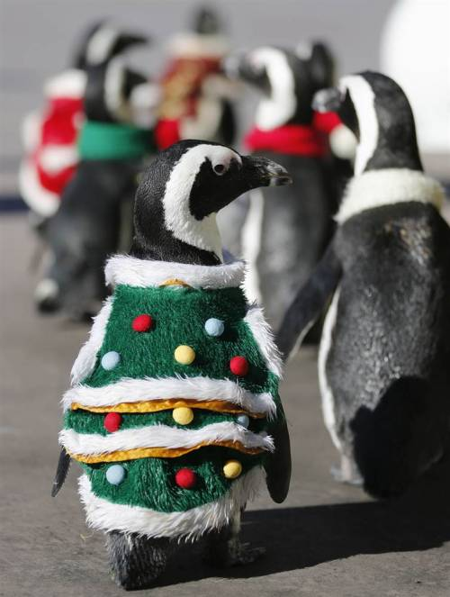 today:  Penguins in Christmas suits, dogs in costume, and 19 more animal photos And that's why the holidays are just spectacular…  And then there was this.