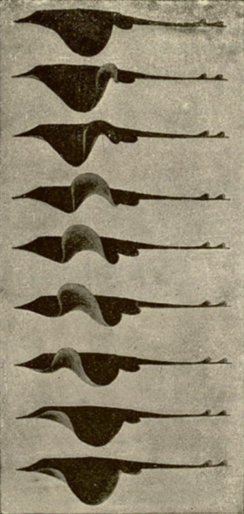 Undulations of the fins of a skate viewed from the side. Étienne-Jules Marey, 1894 <><><>