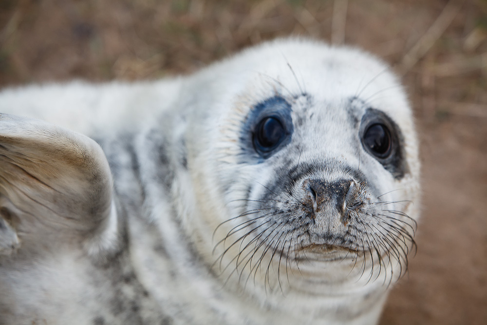 thefluffingtonpost:  PHOTO OP: Seal Pup Via Moonrhino.