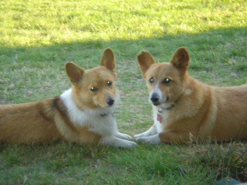 Rescue corgi Fonda, with his little buddy, Toast.