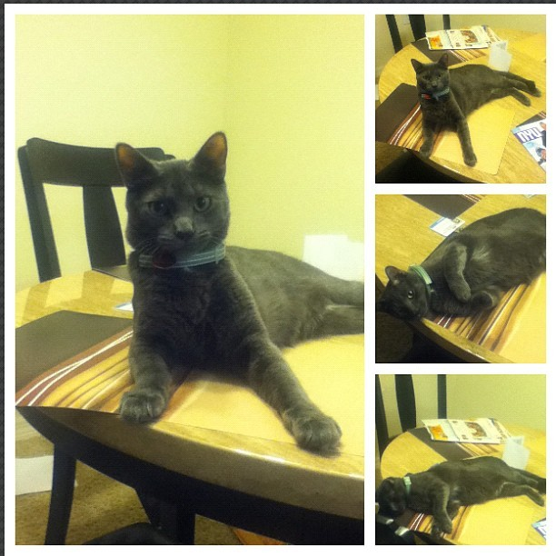 So it's ok to just lay on the Table bad ass Crank lol I just laughed at him and he looking like what #krank #crank #crazy #kitty #cat #meow #lazy #grey
