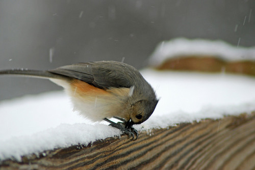 Tufted Titmouse opening sunflower seed by JazzyMountainGal on Flickr. fuzzybellyfuzzybelly