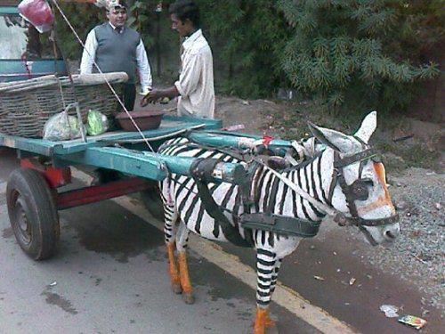 That's totally not a zebra. They totally tricked you. Now everyone thinks you're a fool.
