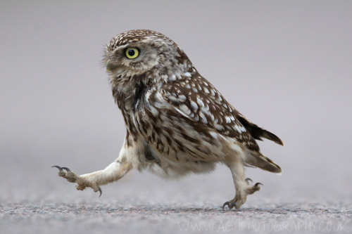 fat-birds:  downlo:  Little Owl, by Tony House  Be right back, honey! Just going to go pick up some milk and dead mice for dinner.