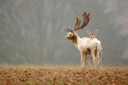 "magicalnaturetour:   Photo ""fallow love"" by Mark Bridger:)"