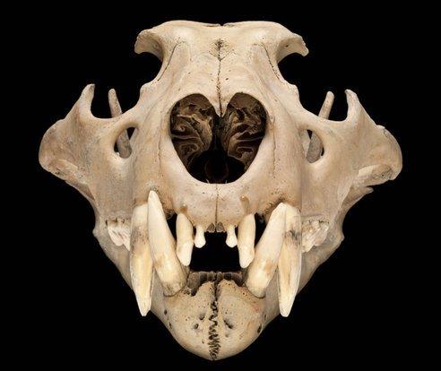 © Natural History Museum This is the skull of a north African Barbary lion thought to have lived in the Tower of London around 1280-1385. It would have been the most special animal in the King's collection and is the oldest lion to be found in the UK. See 22 Treasures on View at London's Natural History Museum