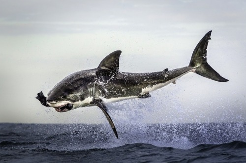 opticoverload:Photo by Dana Allen Great white shark
