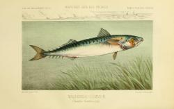 scientificillustration:  The Atlantic mackerel (Scomber scombrus) La Pêche et les poissons Paris :C. Delagrave et cie,1868.  biodiversitylibrary.org/page/6339200