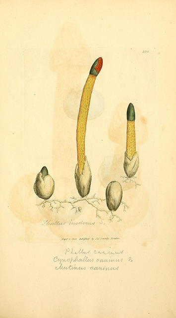 mycology:  Mutinus caninus by BioDivLibrary on Flickr. Coloured figures of English fungi or mushrooms..London,Printed by J. Davis,1797-[1809].biodiversitylibrary.org/page/5751486