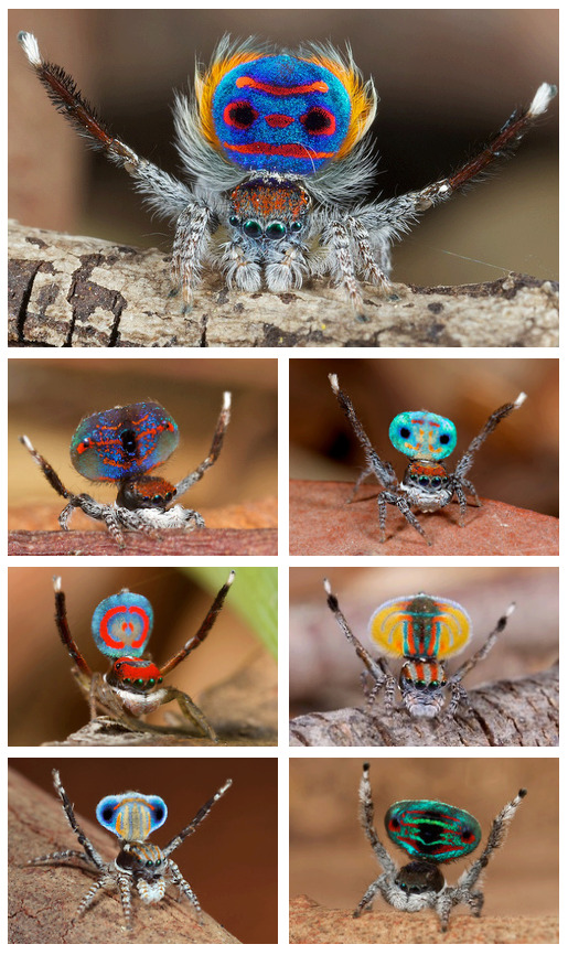 wildlydistorted:  Meet the Peacock spider (Maratus volans) - a species of jumping spider native to eastern Australia. Only 5mm in length, it is only the males that have this bright colouring. The males also have extensions on their abdomen that can be folded down. They use these to display their colours and markings to females, earning them their name of 'peacock'. The male will first raise his abdomen, then raise his flaps forming a veritable field of colour. The male will then vibrate his raised legs and tail and dance from one side to another in an attempt to impress the female. [x]  I'll translate, I speak peacock spider:  Heyyyyy!  Heyyyyyyyyyy!   Heyyy!  Heyyyyyyyyyyyyyyy!