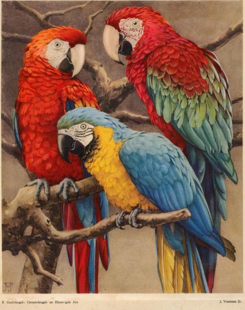 adventures-of-the-blackgang:  Parrots —dierenleven in artis 1939 titelpagina