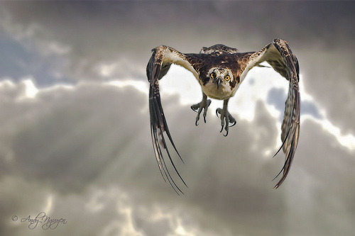 fairy-wren:  osprey (photo by wild wings photography)