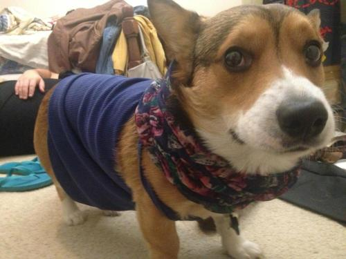 einbernhard:  are you sure dressing like this will get me all the lady corgis?
