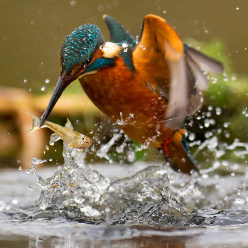 theanimalblog:  A close-up of a kingfisher emerging from the water with a fish in its beak. The moment was captured by wildlife photographer Sam Stewart, 21, near his home in Wimborne, Dorset. Sam spent hours patiently watching the kingfisher on the banks of a river to record the dive.  Picture: Sam Stewart / Barcroft Media      (via TumbleOn)
