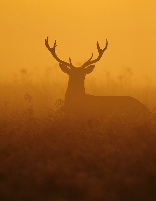 lapetitelamb:  Red Deer Stag