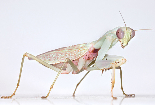 "Hierodula salomonis, aka, the ""Jade Mantis"", East Asia Top - male; Bttm - female"