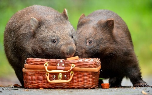 Two orphaned wombats, called Turtle-belle and Phoenix, are all packed and ready for San Diego. Here they will become some of the first animals to move into the city zoo's new Australian habitat. The cuddly marsupials will travel in style, boarding a Qantas flight in comfortable custom-built crates, complete with a bed of hay.  Picture: Jay Town/Newspix / Rex Features (via Pictures of the day: 30 November 2012 - Telegraph)
