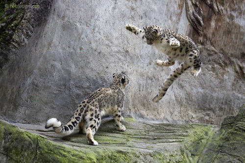 animals-animals-animals:  Flying Snow Leopard (by Daniel Münger)