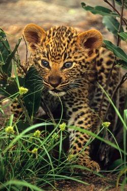 cat outdoor animal nature cub feline leopard vertical