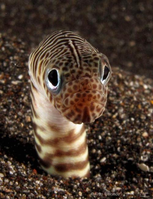 mad-as-a-marine-biologist:  Garden Eel  My face in the morning Photographer: Rivo Malonda Source: Underwater Macro Photographers