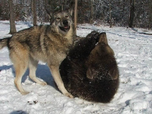 buzzfeed:  Lil' Bear and Tala the wolf were inseparable growing up and are still best friends!