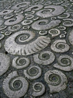 mandaladana:  Fossil ammonite pavement in the town of Lyme Regis, Dorset, Great Britain.