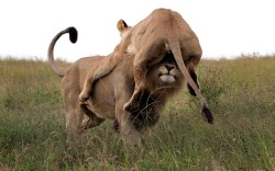 funnywildlife: An angry lioness launches herself at a male – but ends up sitting on his head, looking like a lion hat. She pounced at the male when he tried to discipline her cubs, but misjudged the distance. Park ranger Jacques Matthysen photographed the moment at a game reserve in South Africa.Picture: JACQUES MATTHYSEN / CATERS NEWS