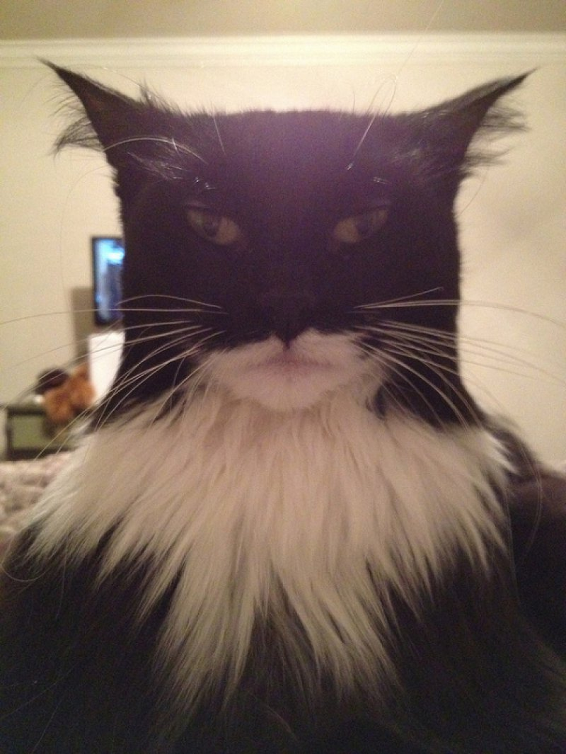 collegehumor:  Cat Looks Exactly Like Batman Holy bat, Catman!