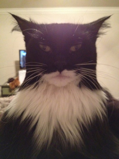 Cat Looks Exactly Like Batman Holy bat, Catman!