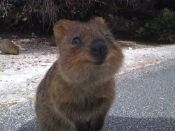 shavingryansprivates:   apparently this thing is called a quokka but i dont care because LOOK ITS FUCKIN SMILING