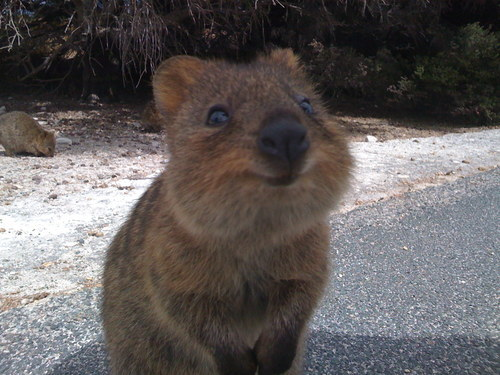 shavingryansprivates:  apparently this thing is called a quokka but i dont care because LOOK ITS FUCKIN SMILING   I totally cuddled one of this thanks to the lovely lady working at Adelaide zoo during my first couple of weeks in Australia. Best!