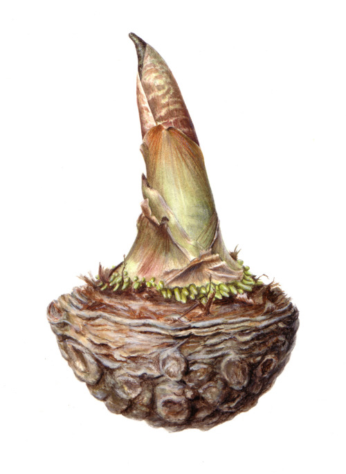 Arisaema tortuosum by Sigrid Frensen Watercolour and coloured pencil