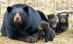thepredatorblog:  When Zoo Sauvage's twelve year old mama Black Bear emerged from the den after hibernation this spring, she brought a surprise… or four. Bear cub quadruplets are rare and usually reflect a healthy mother who is larger than your average bear! Photo by zooborns