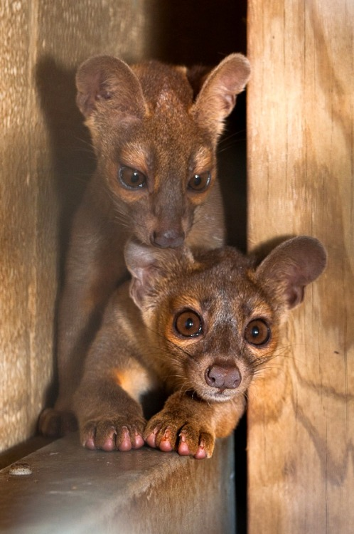 Fossa cubs (by zooborns)