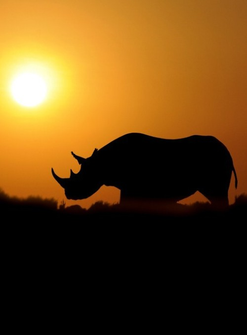 funkysafari:  RHINO DAWN Rhinos once roamed many places throughout Eurasia and Africa and were known to early Europeans who depicted them in cave paintings. Long ago they were widespread across Africa's savannas and Asia's tropical forests. But today very few rhinos survive outside national parks and reserves. What you can do: Thank Secretary of State Hillary Clinton for Helping to Stop Wildlife Crime HERE Don't buy rhino horn products. Illegal trade in rhino horn is a continuing problem, posing one of the greatest threats to rhinos today. Sign the petition to the leaders of the European Union. HERE Use and support sustainable wood, paper and palm oil. This helps protect rhino habitat by limiting illegal logging and forest conversion to oil palm plantations.  Adopt a Sumatran rhino through WWF