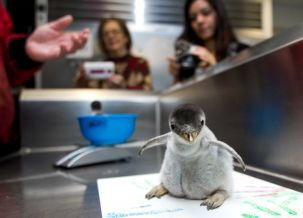 Gentoo penguin born at Moody Gardens Aquarium Pyramid over Thanksgiving weekend.