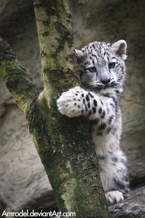 llbwwb:  My Tree! Todays Cuteness:) by ~amrodel  Snow Leopard