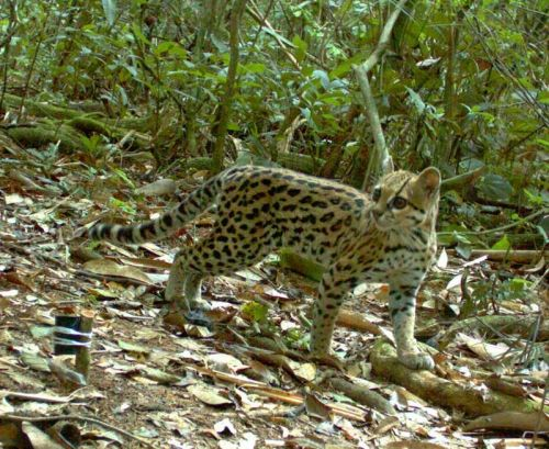 Rare Bolivian Wild Cat Captured on Camera: The cat, which is about the same size as a domesticated house kitty, also is now about to become a media star, as the photo this week won a BBC Wildlife camera-trap photo competition.