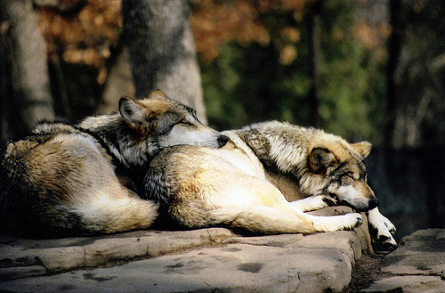 asleepwithwolves:  Wolves
