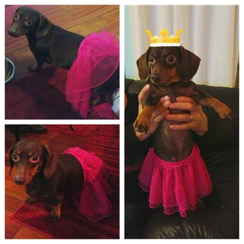 organicmommy:  My pretty princess with a look of shame in his eyes…  pretty doxie princess :D