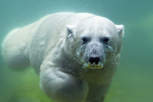 "magicalnaturetour:  ""Polar bear waterplay"" by Jutta Kirchner :)"