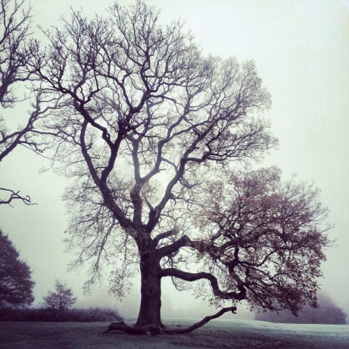 #oak #mist #fog #trees #frost #winter #park
