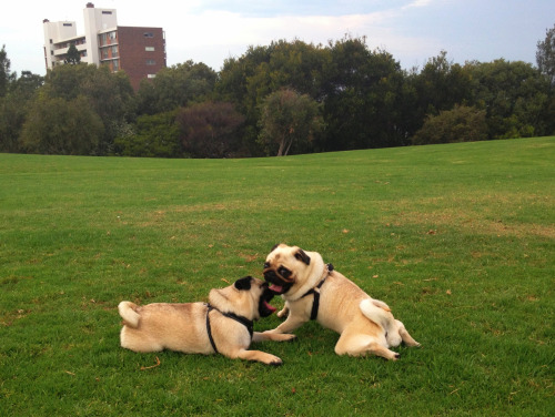 harrythepug:  Pugs at the park