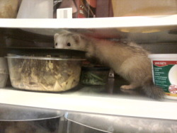 whatareyoudoingferret:  What are you doing Ratsbuten?  You're not leftovers!