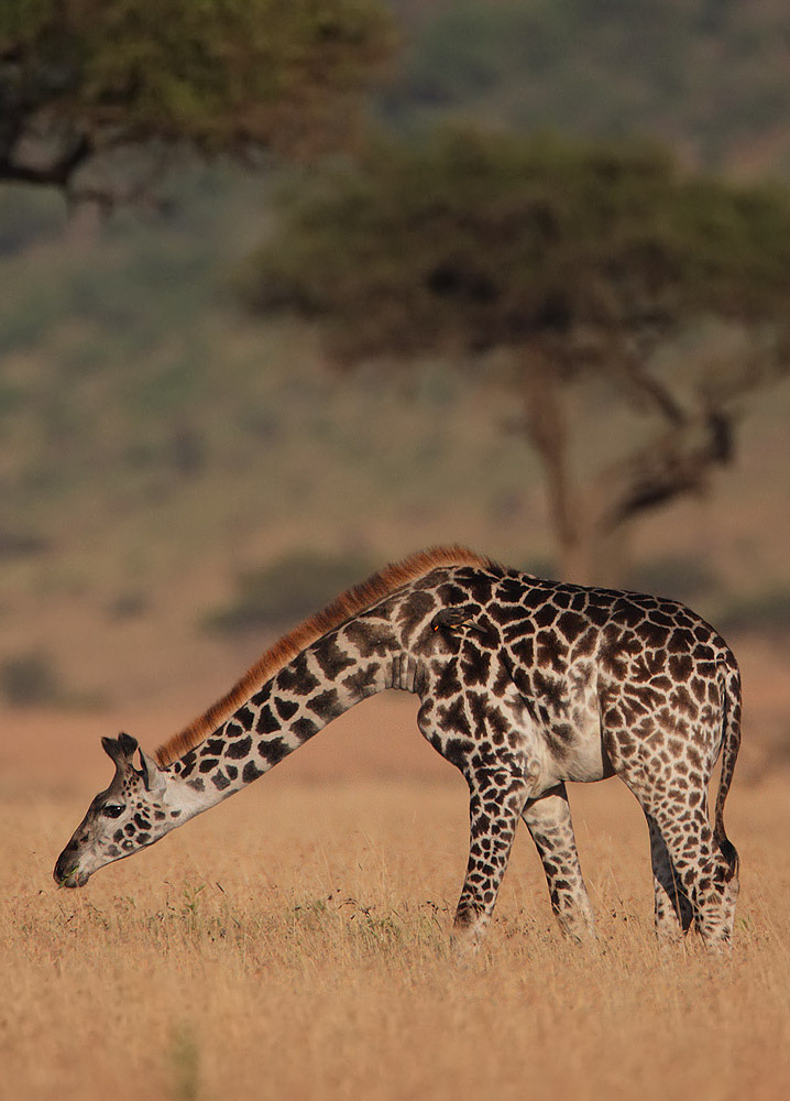 wandering-through-nature:  Giraffe by Steve Garvie